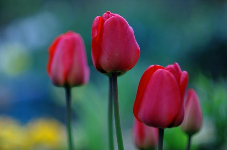 tulips 2013 ii